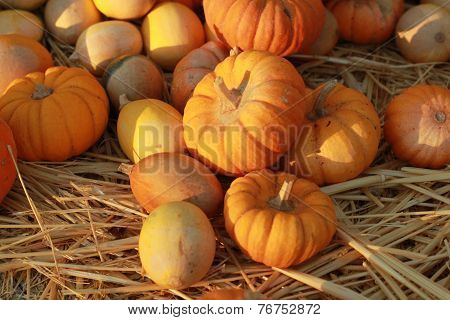 group of golden pumpkins on hay in sun