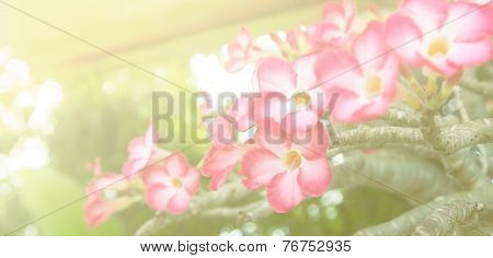 Impala Lily - Tropical Flower