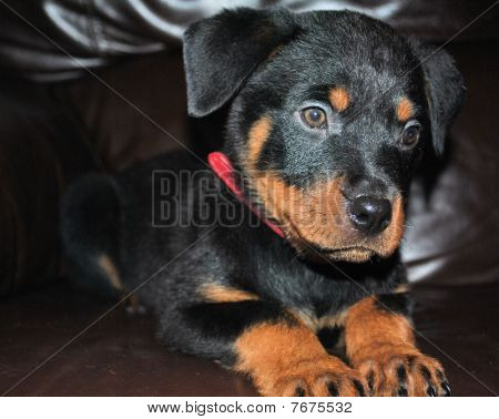puppy rottie