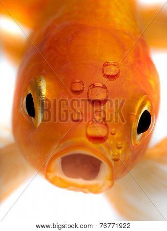 Goldfish , close up