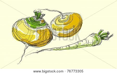 Vector hand drawing realistic juicy ripe turnip