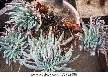 Dudleya Plant