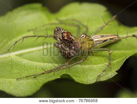 Lynx Spider Eating Jumping Spider, Wildlife