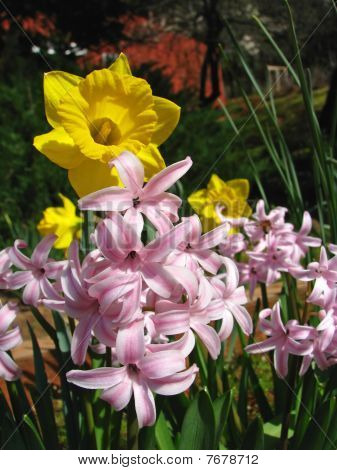 Daffodil And Pink Flowers