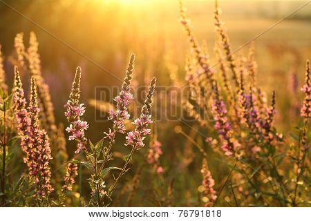 Purple loosestrife  - Lythrum salicaria