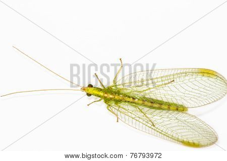 Close Up Of A Lacewing (chrysoperla Carnea