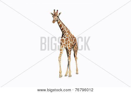 Wild giraffe isolated