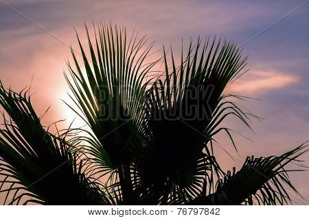 Palm Leaves Against The Sunset