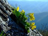 stock photo of small-flower  - Wild Primula auricula from National Park Domogled - JPG