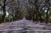 stock photo of tree lined street  - Suburban road with line of jacaranda trees and small flowers making a carpet - JPG