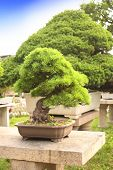 stock photo of bonsai  - Bonsai in Humble Administrator - JPG