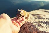 stock photo of chipmunks  - chipmunk - JPG