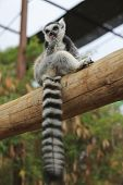 foto of tail  - A Ring-tailed lemur sits and looks around