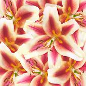 stock photo of stargazer-lilies  - group of dual colored lily flowers background - JPG