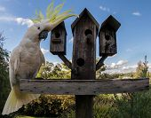 pic of cockatoos  - A sulfur Crested Cockatoo waiting for food on a bird feeder