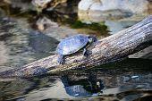 image of terrapin turtle  - Turtle - JPG