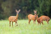 foto of deer family  - Roe - JPG