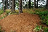 picture of coniferous forest  - Big anthill in the coniferous forest  - JPG