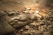 picture of leech  - Crocodiles are old leech on the body - JPG