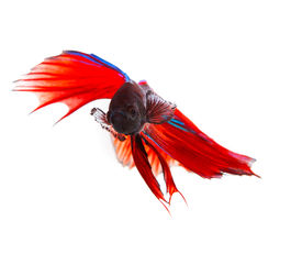 foto of fighter-fish  - close up face of red thai betta fighting fish with full beautiful fin and tail isolated white background