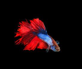 picture of fighter-fish  - red and blue siamese betta fighting fish full tail and fin isolated black background - JPG