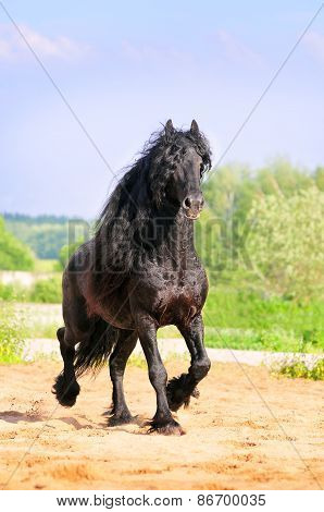 Friesian Stallion Runs Free In Summer