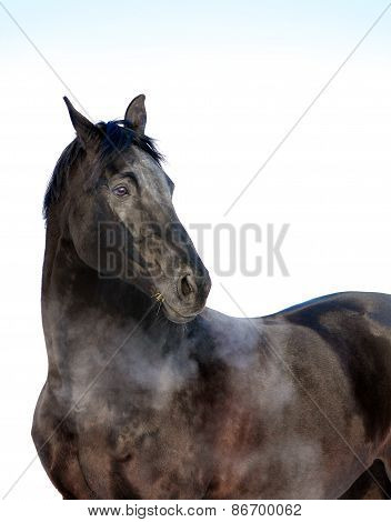 Black Horse Portrait Look Back Isolated On White