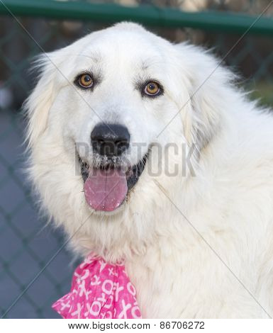 Great Pyrenees with pink neck scarf.