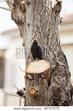Blackbird, Turdus Merula.