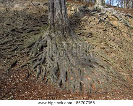 fat roots