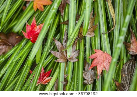 Detail Of Autumnal Maple Leaves
