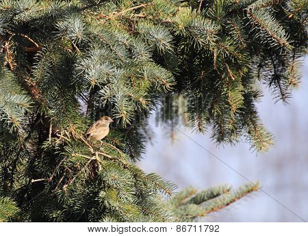 Female House Sparrow In Conifer