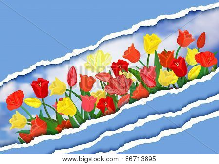 Colorful Tulips With Torn Paper Borders