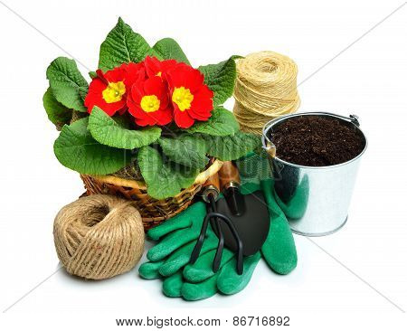 Blooming Red Spring Primulas In Flower Bed With Rake, Shovel, Rubber Gloves Isolated On White