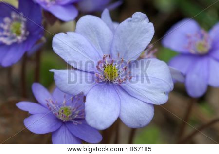 Round-lobed hepatica close-up