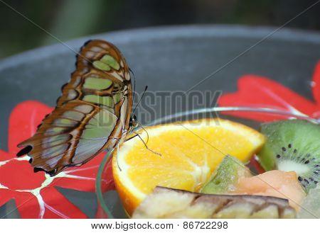 Malachite (siproeta Stelenes) On Feeding Station