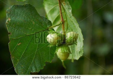 Three Green Hazelnuts
