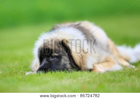 Purebred Leonberger Dog