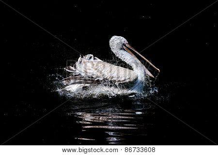 Swimming pelican
