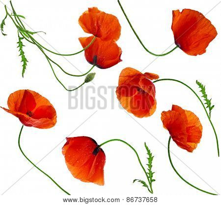 Poppy flowers - collection set isolated on white background