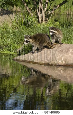 Two Raccoons on a Rock with Reflection