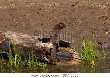 Mink Standing in Log on River Bank
