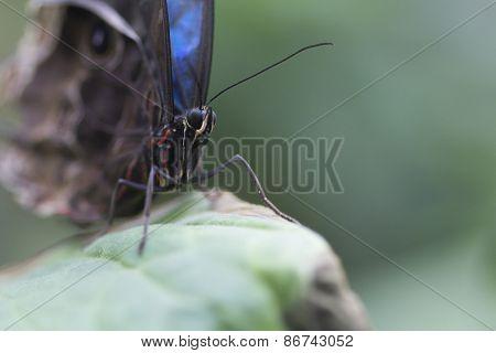 Morpho peleides (Blue Morpho)