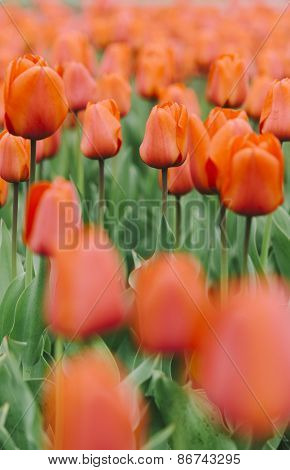 nice fresh tulips, shallow depth of field