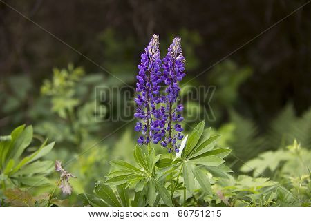 Two Lupines Blossoms