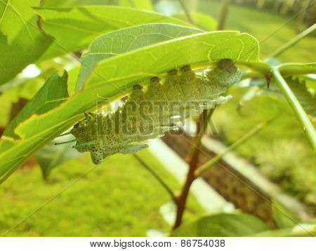 A Green Caterpillar