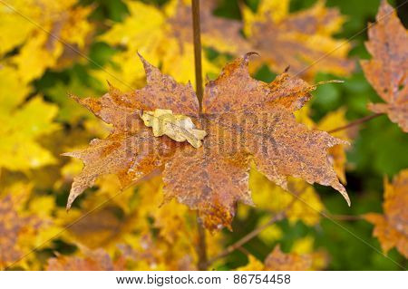 Golden and colorful maple leaves on a twig
