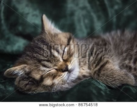 Little Kitten Scottish Breed Asleep In A Chair