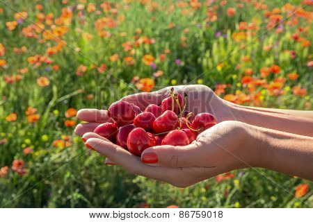 A Handful Of Juicy Berries Cherries In Women's Hands