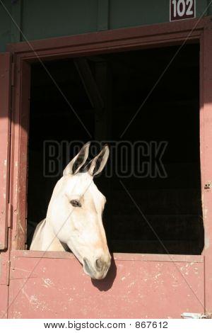 Attentive Mule